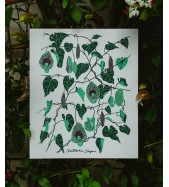 Lámina Aristolochia Elegans